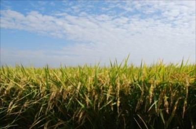 キヌヒカリを通販でお届けする【里山農家のおいしいお米】。-米本来の旨みと味わいが楽しめるキヌヒカリを通販で5kgからご提供-