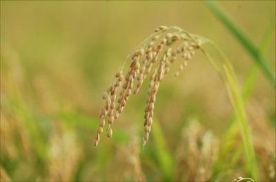 稲作はいつから行われていた? -お米が主食の日本・その歴史とは - 農家が育てるお米のイメージ画像